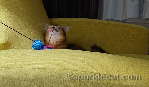 somali cat trying to destroy her cat toy