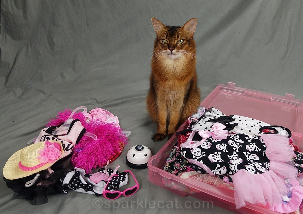 somali cat looks over wardrobe for cat show