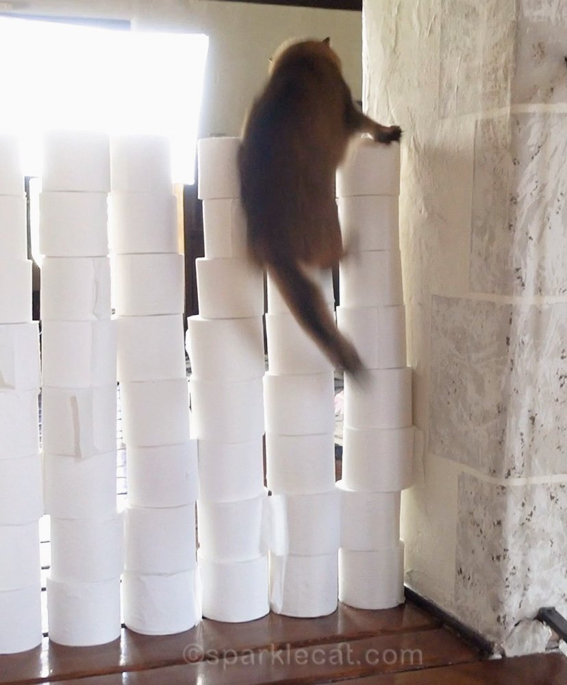 somali cat in the midst of a toilet paper wall fail