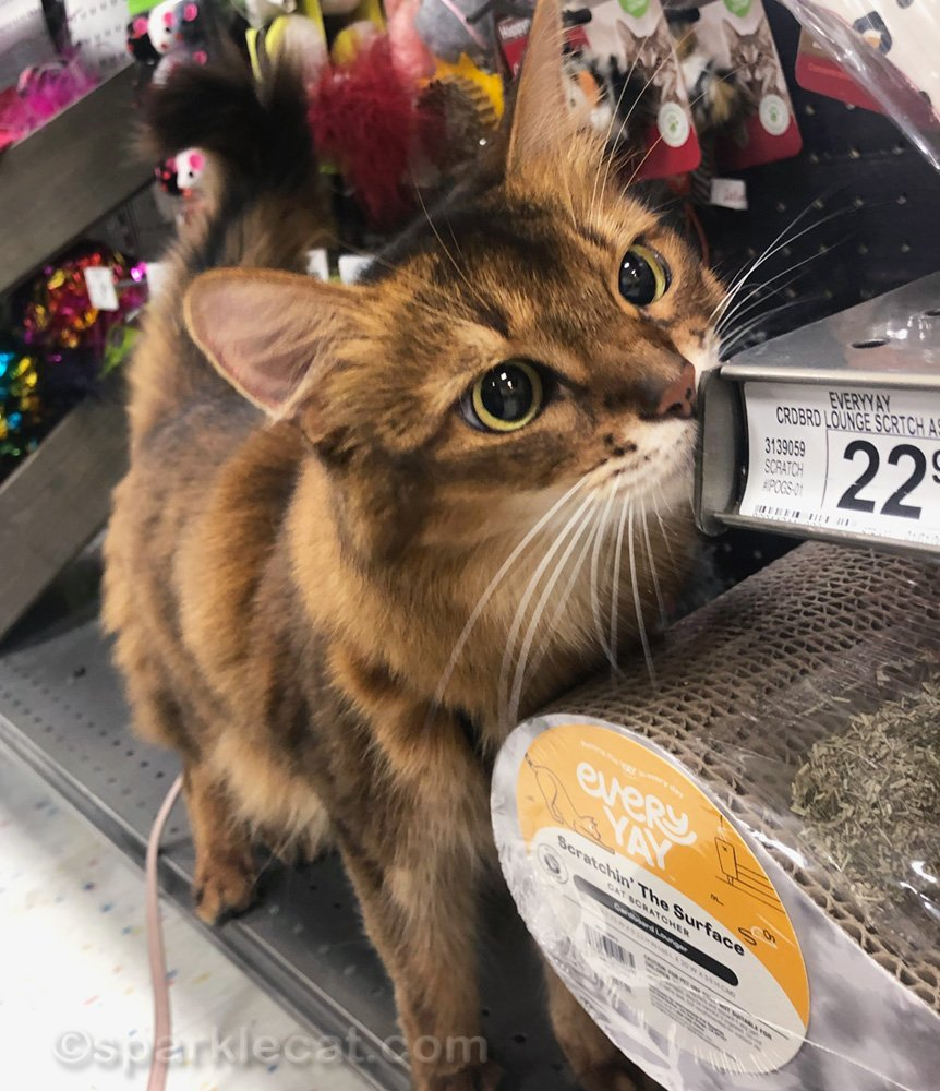 somali cat in toy section of pet store