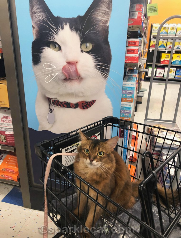 Somali cat in shopping cart, with poster of cat behind her