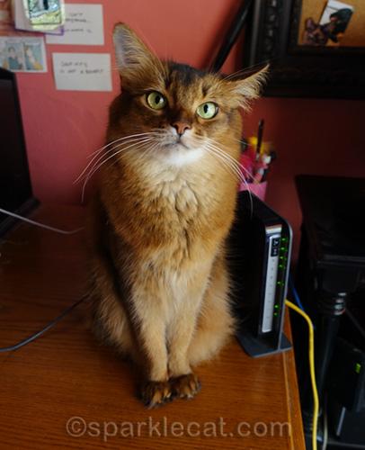 somali cat on desk sitting next to modem