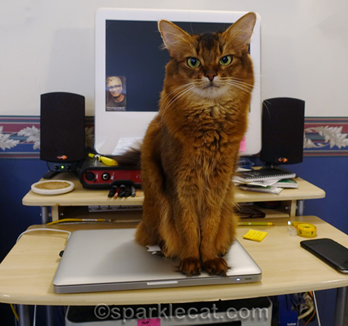 somali cat sitting on sleeping Macbook