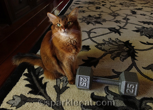 somali cat sitting next two 25-lb dumbbell