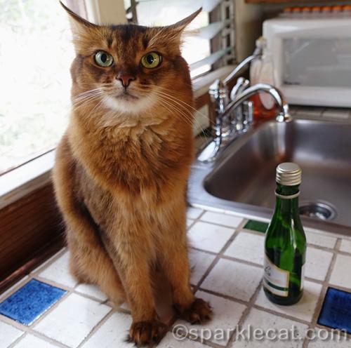 somali cat with empty chapaigne split