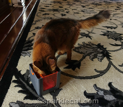 somali cat with head in cat toy marinater
