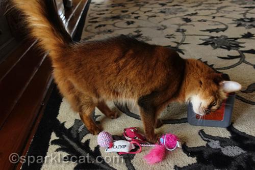somali cat rubbing on cat toy marinater