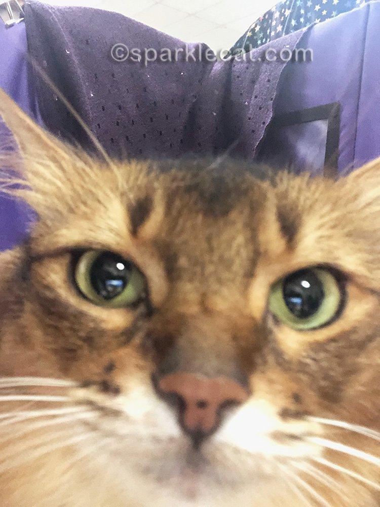 somali cat messes up selfie