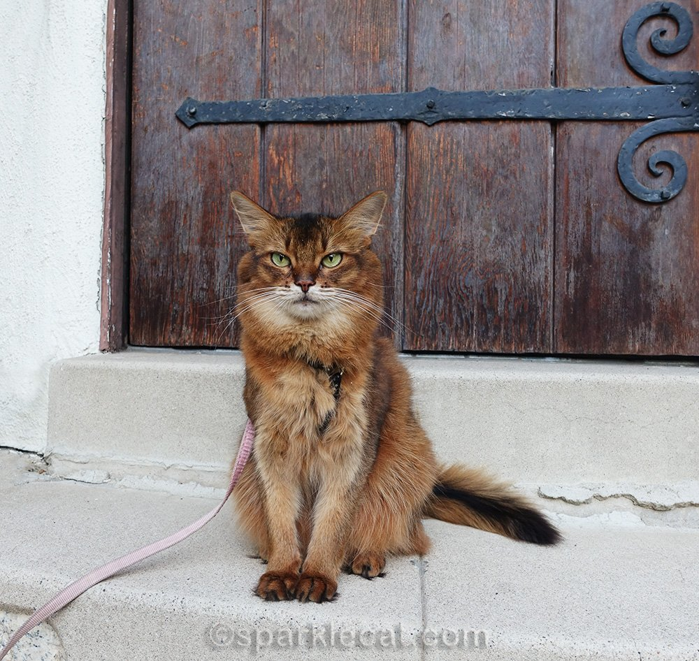 somali cat sitting on step in front of wooden door