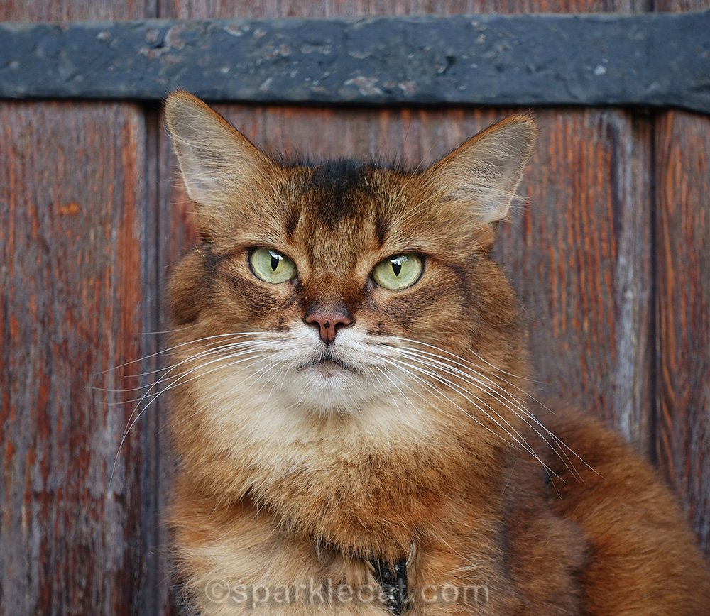 close up of somali cat in front of old door