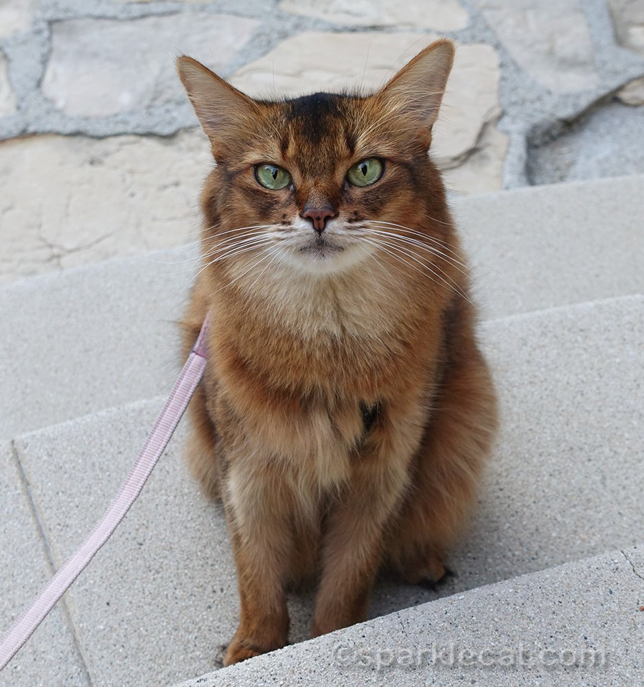 somali cat on stairs from another angle