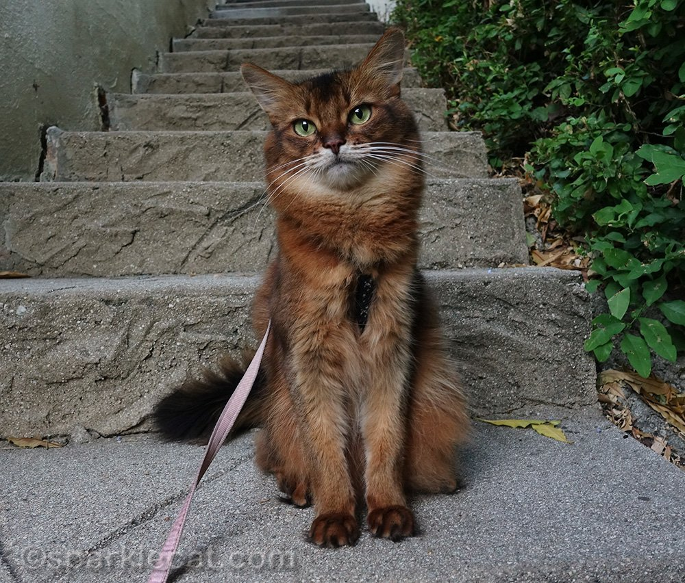 somali cat on stairs by side of the house