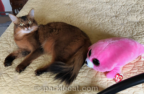 somali cat next to a silly seal stuffie