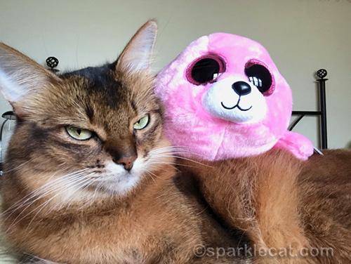 somali cat not happy about sharing spotlight with seal stuffie