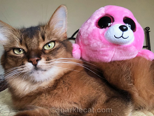 somali cat taking selfie with seal stuffie