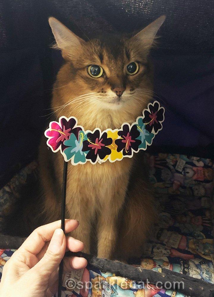 somali cat with Hawaiian themed photo prop