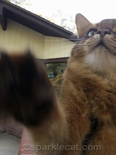 somali cat getting ready to take some outdoor selfies