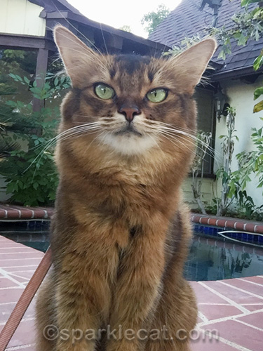 somali cat slightly distracted