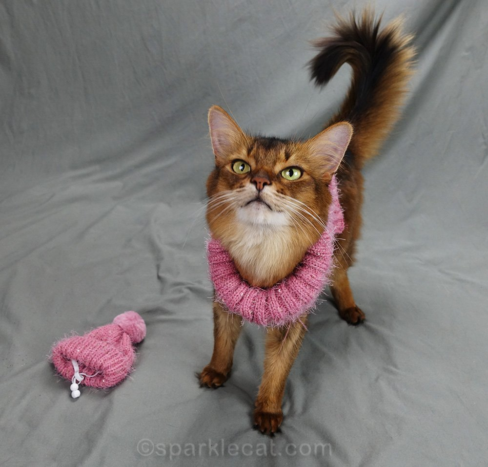 somali cat in sweater, ready for photo shoot
