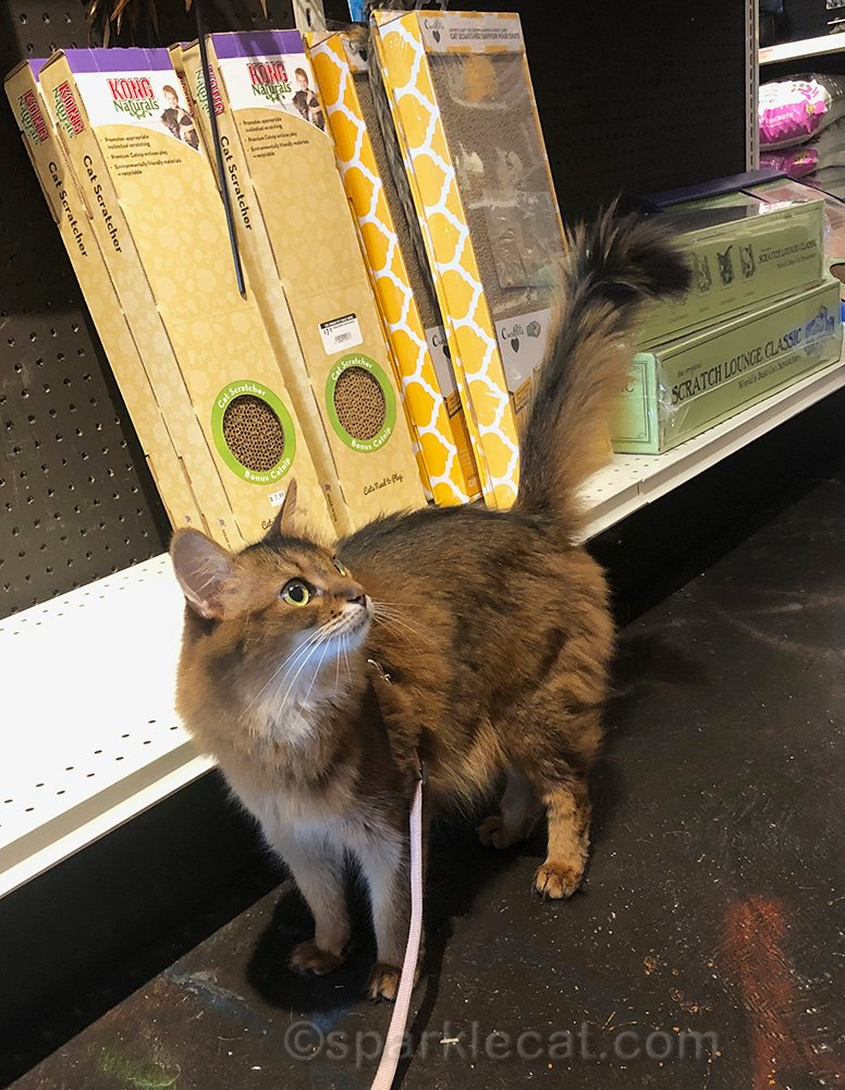 Somali cat on a leash in pet store