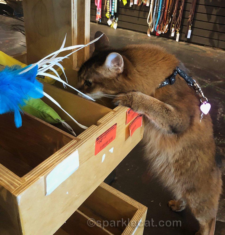 somali cat sniffing pet store catnip toys