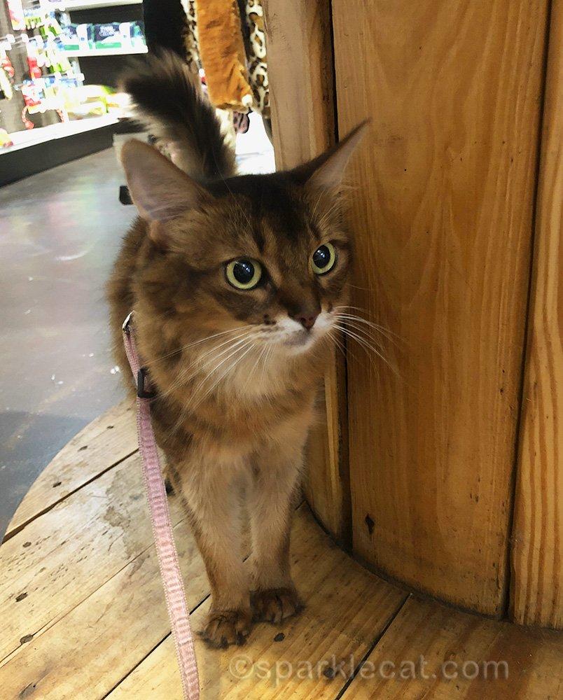 somali cat looking around at pet store