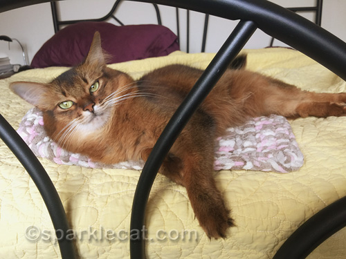 napping somali cat is awakened for a selfie