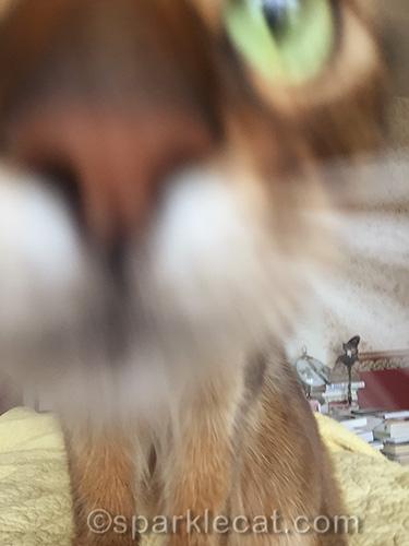 somali cat looks into iPhone lens