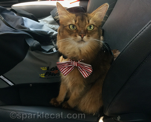 somali cat in her candy striper bow tie ready for a typical therapy cat day