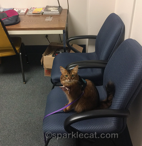 therapy cat in volunteer room