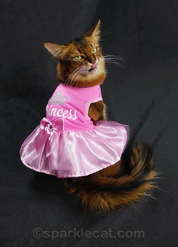 somali cat in princess dress giving a raspberry