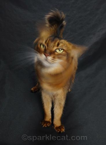 somali cat shaking head