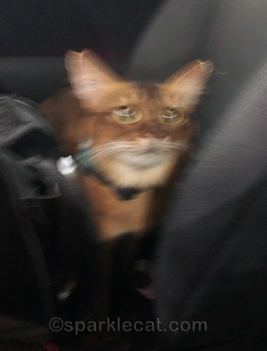 blurry photo of therapy cat in cat