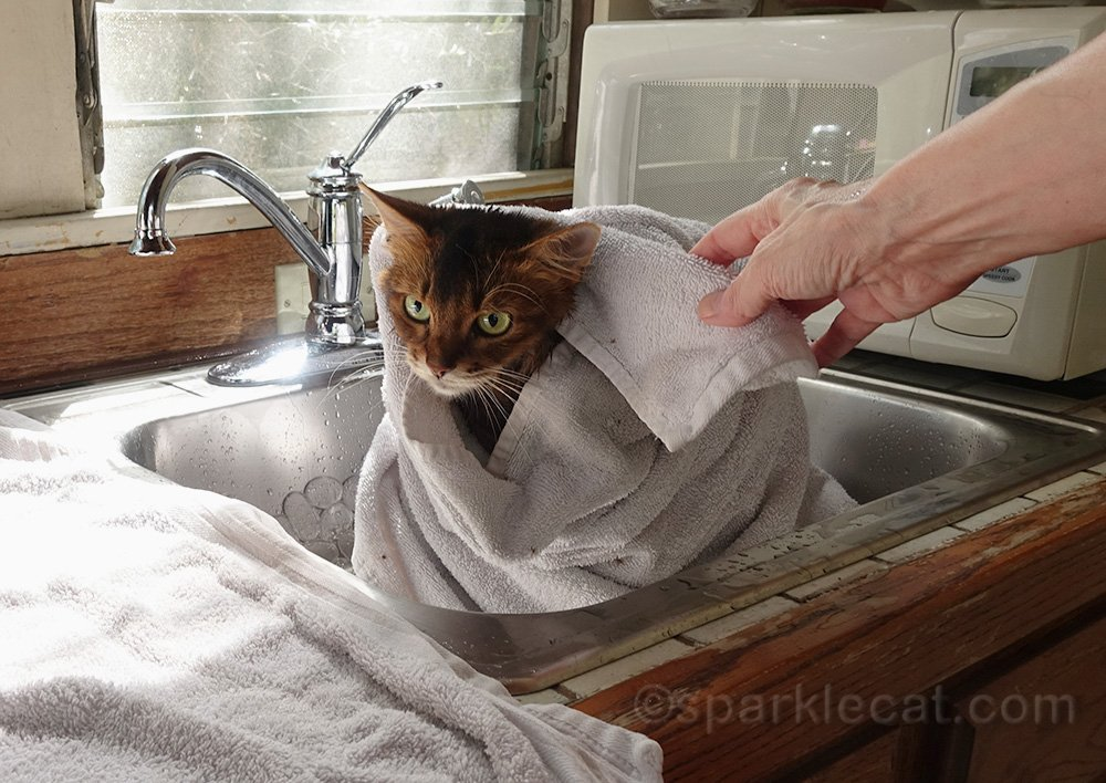 somali cat getting dried off after a bath