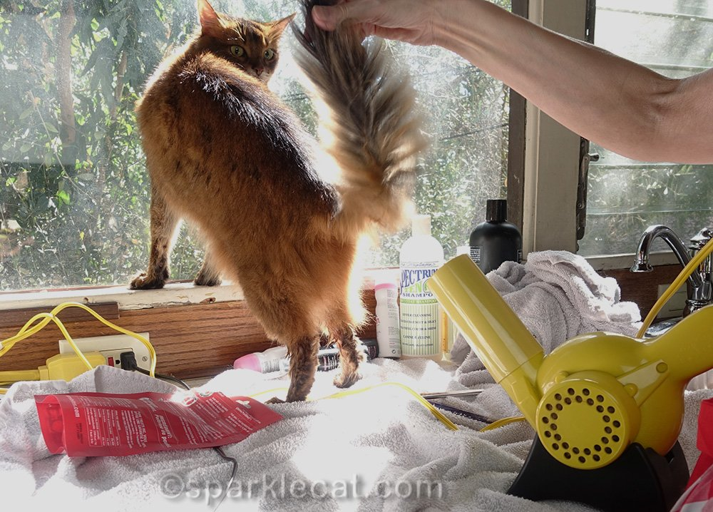 somali cat getting her britches dried