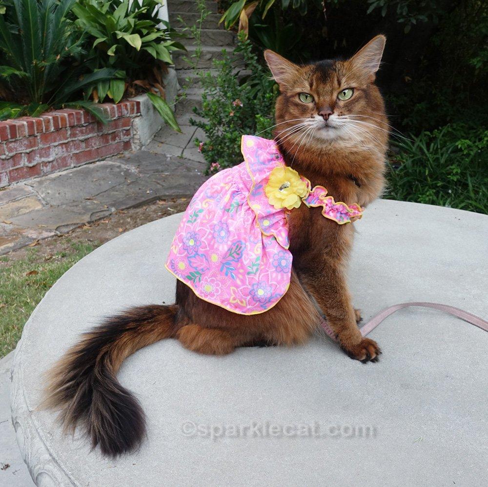 somali cat wearing a pink summer dress