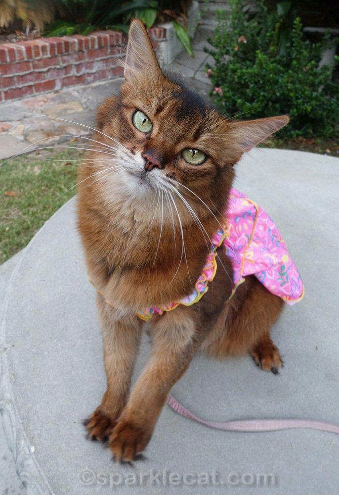 Somali cat looking cute in pink dress