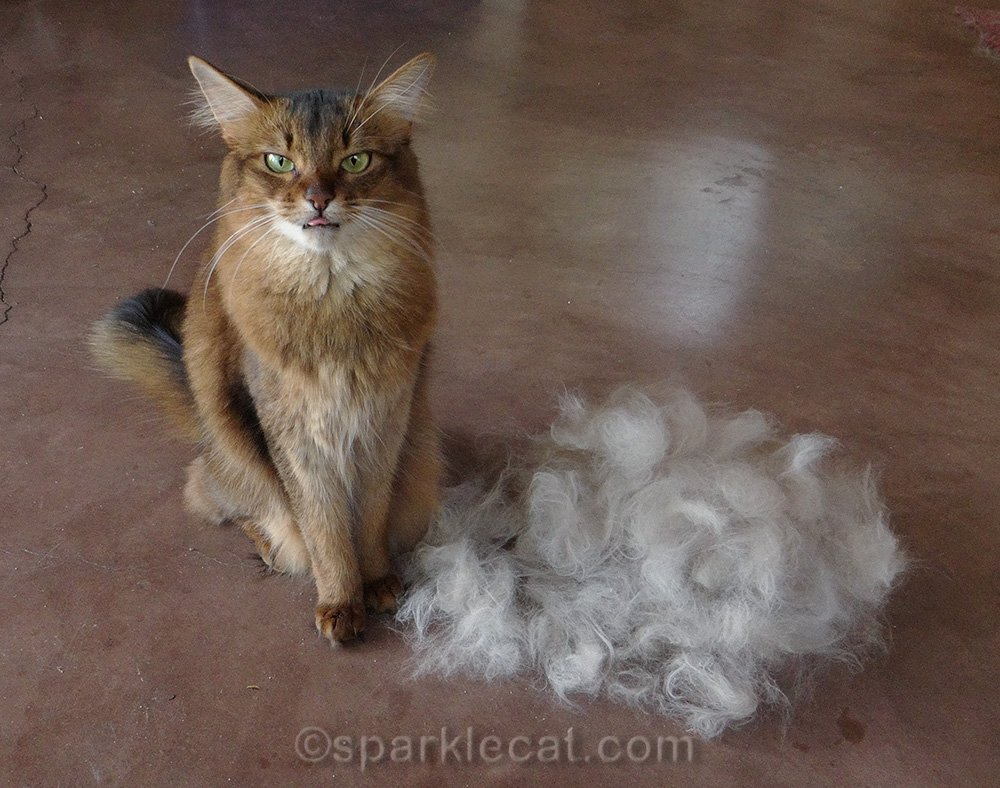 somali cat with tongue out at pile of cat fur