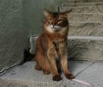 annoyed looking somali cat on stairs