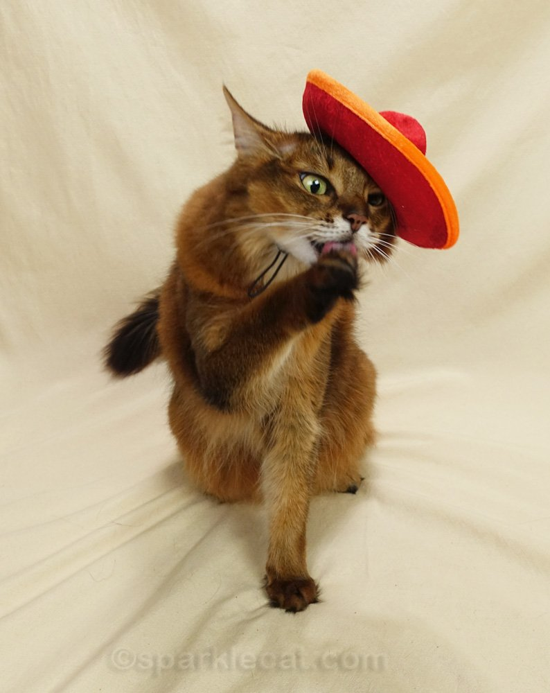 somali cat wearing a sombrero and licking her paw