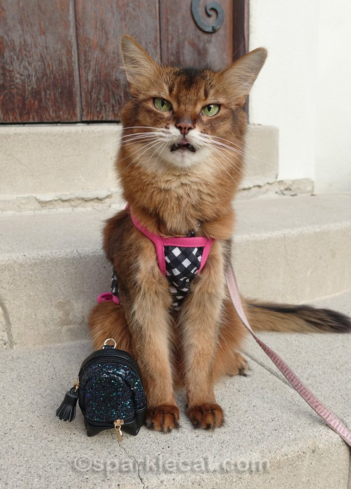 Somali cat in cute outfit and with tiny backpack