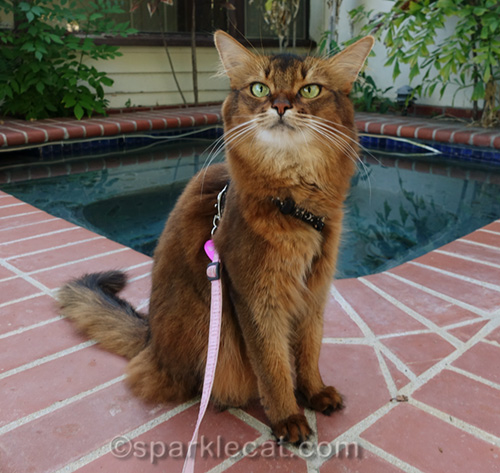 somali cat sitting by outdoor spa