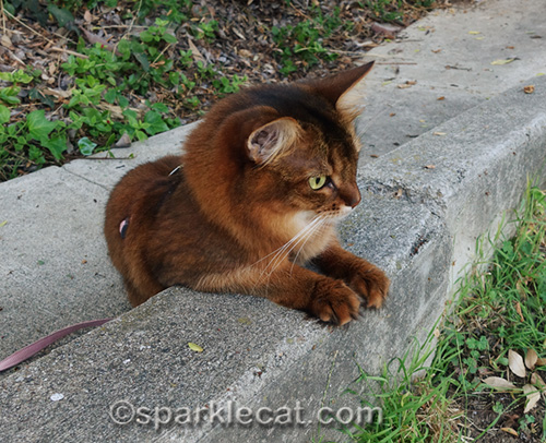 somali cat with front paws on walkway ledge