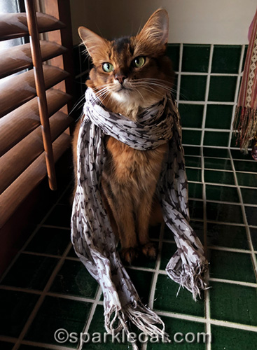 somali cat wearing a scarf