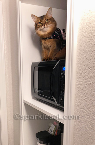 somali cat in harness dress in hotel room