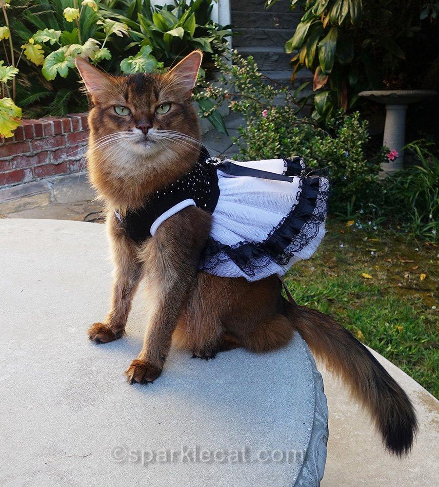 Somali cat wearing a formal dress