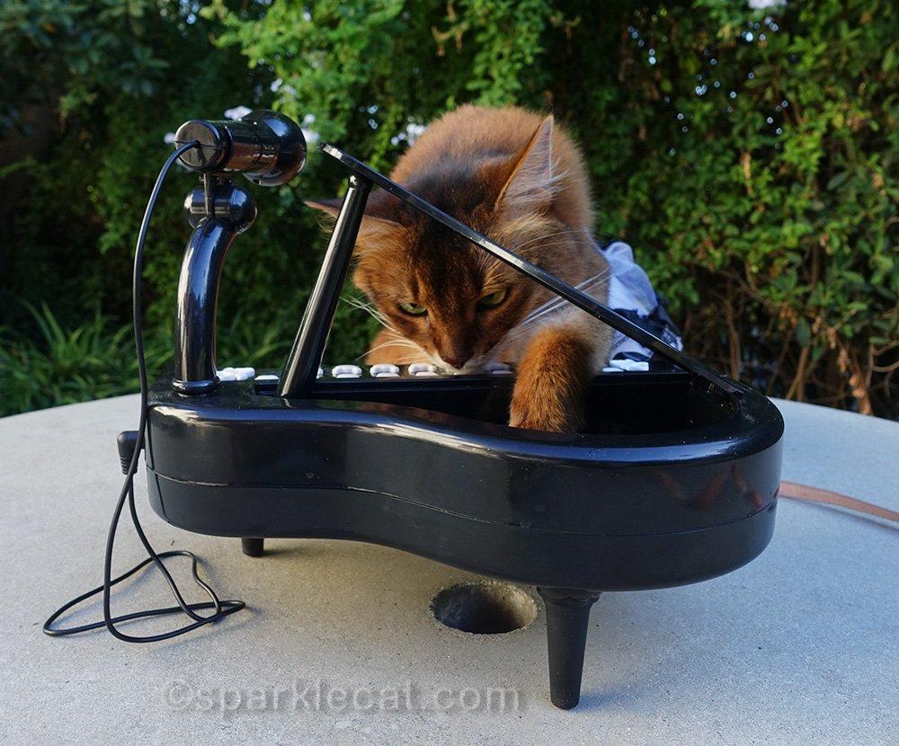 somali cat looking inside tiny piano