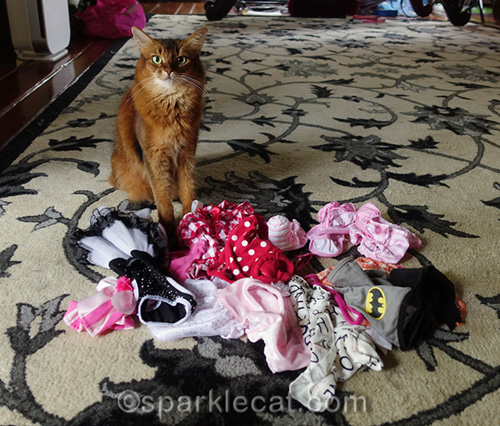 somali cat surrounded by her clothes