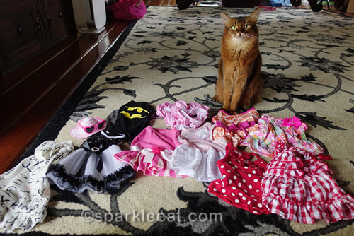 somali cat planning her wardrobe for a cat show at Purina Farms