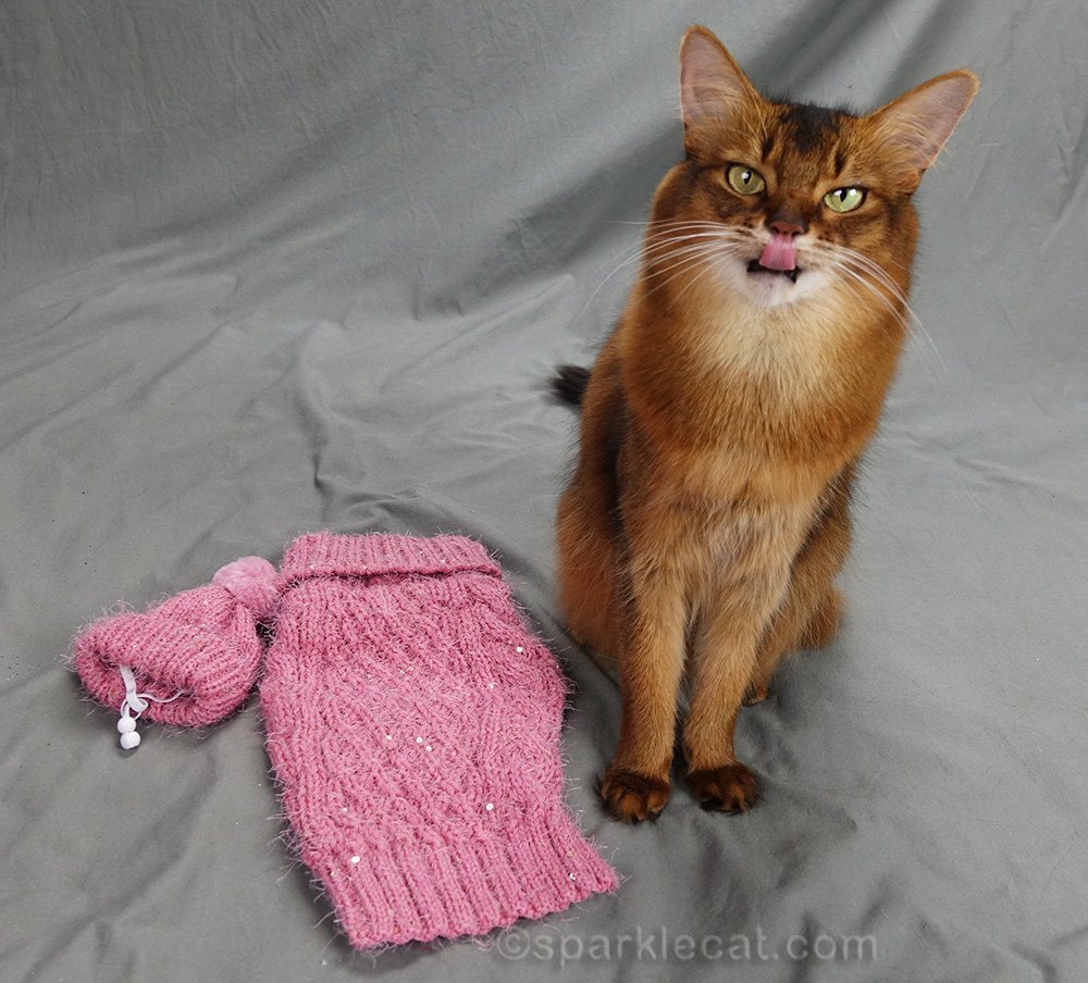 somali cat with tongue out during sweater modeling session in August